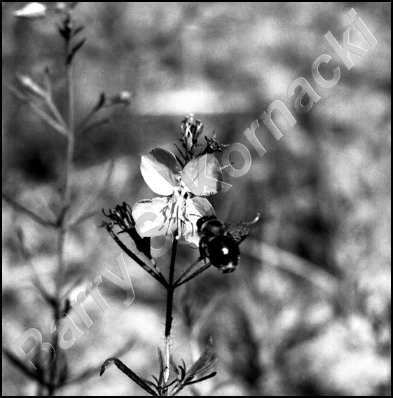 Bumble Bee, black and white photograph