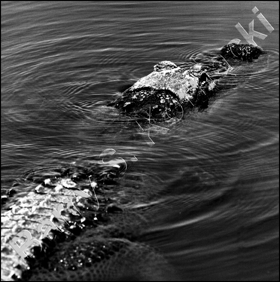 Gator, black and white photograph