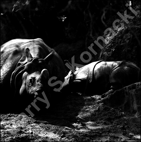 indian rhino and baby, black and white photograph