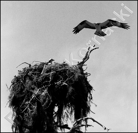Osprey, black and white photograph