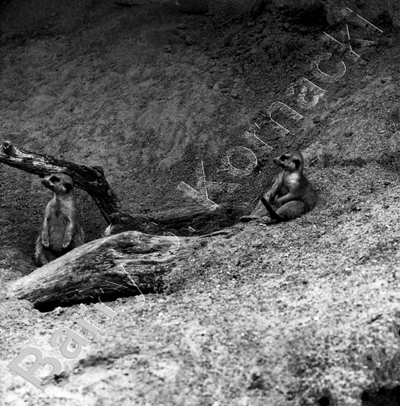 Prarie Dog, black and white photograph