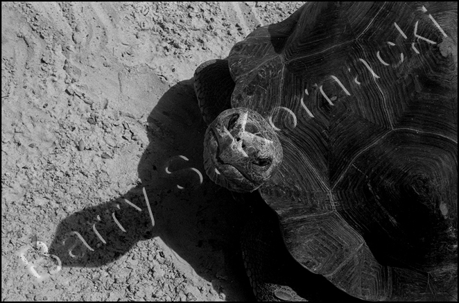 Tortise, black and white photograph