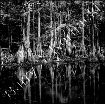 Cypress Swamp, black and white photograph