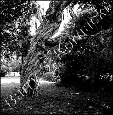 Ryan's Tree, black and white photograph